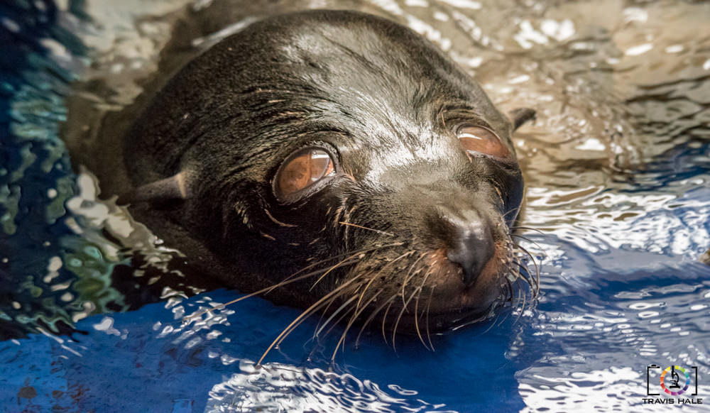 The Australian Fur Seal (From Melbourne Zoo).