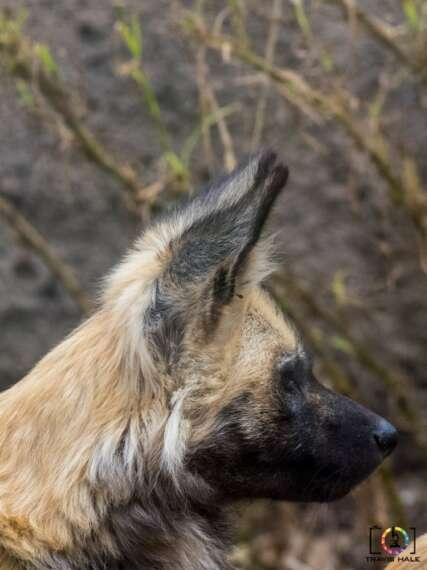 Lycaon pictus or The African Wild Dog / African Painted Dog