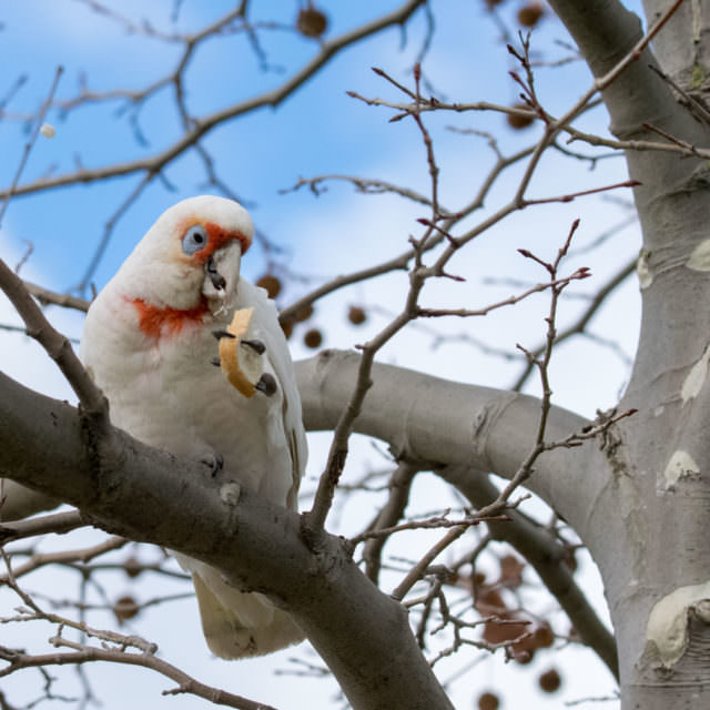 Cacatua sanguinea or the Little Corella.
