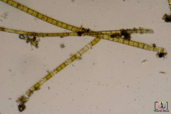 Filamentous Cyanobacteria collected from the rocks of a stream not far from where I live.