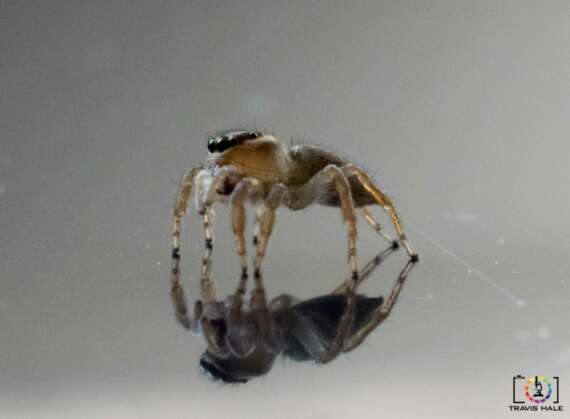 I found this Jumping spider outside, so thought it would be worth trying to get a few photos on my reflective porcelin tile. These are the outcome, the ISO may be been a tad too high thus the noise.