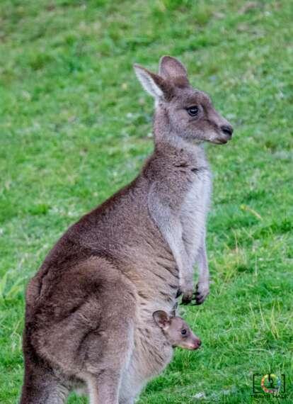 Kangeroo and Joey