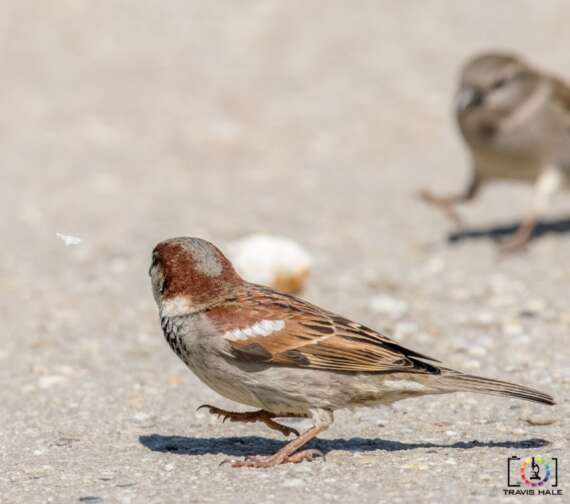 The House Sparrow or Passer domesticus