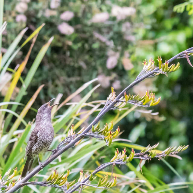 Anthochaera chrysoptera or the Little Wattlebird