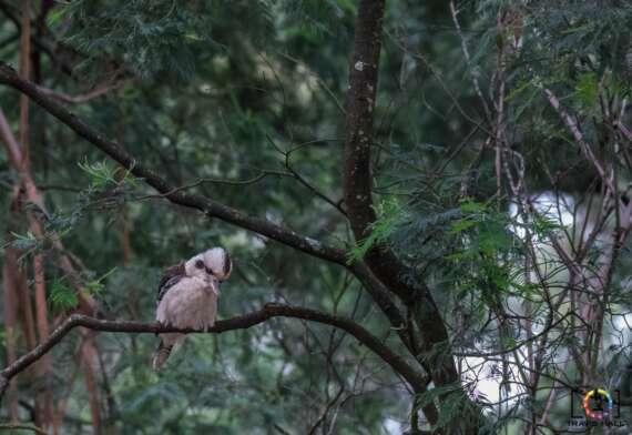 The Kookaburra, at Grants Picnic Ground in Belgrave.