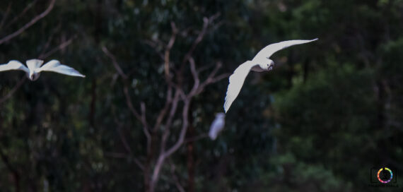 Cockatoo flying towards food at Grants Picnic Ground.