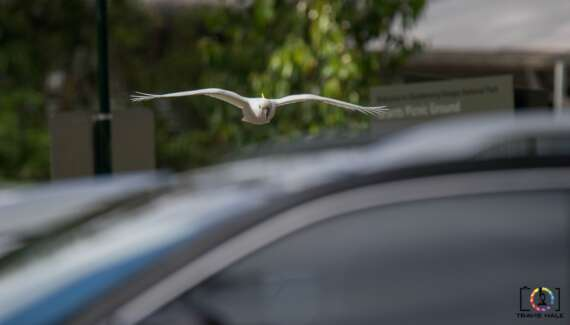 A Cockatoo flying over cars at Granst Picnic Ground.