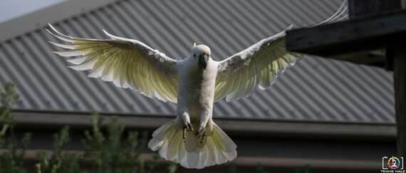 Cacatua galerita or the Sulfur Crested Cockatoo in Flight