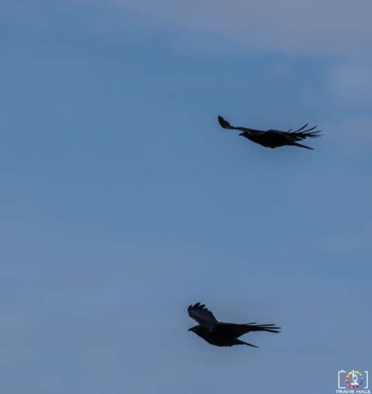 Australian Raven or Corvus coronoides in flight