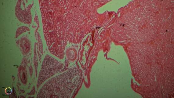 Under the Microscope: Kidney Cross Section