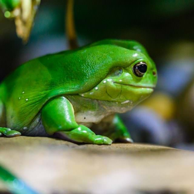 Frog – Melbourne Zoo