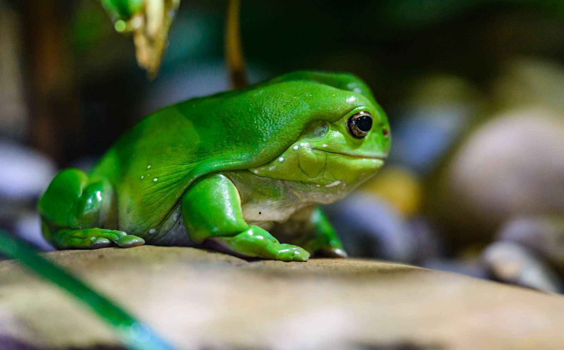 Frog - Melbourne Zoo