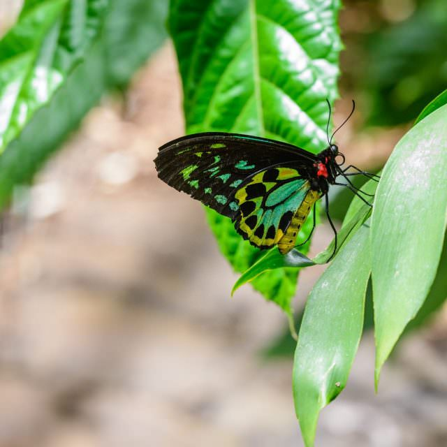 Butterfly (More)  – Melbourne Zoo