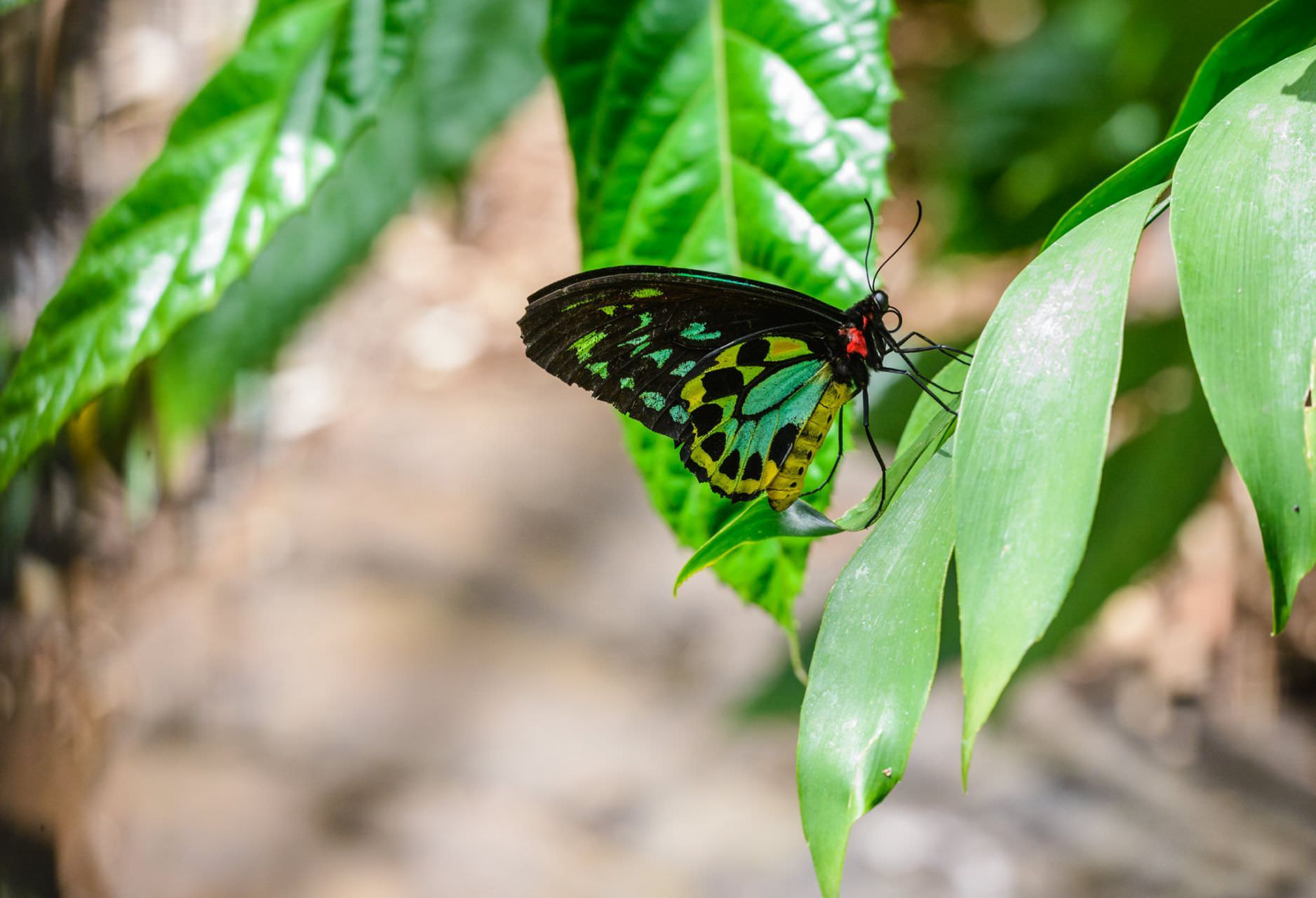 Butterfly (More) - Melbourne Zoo
