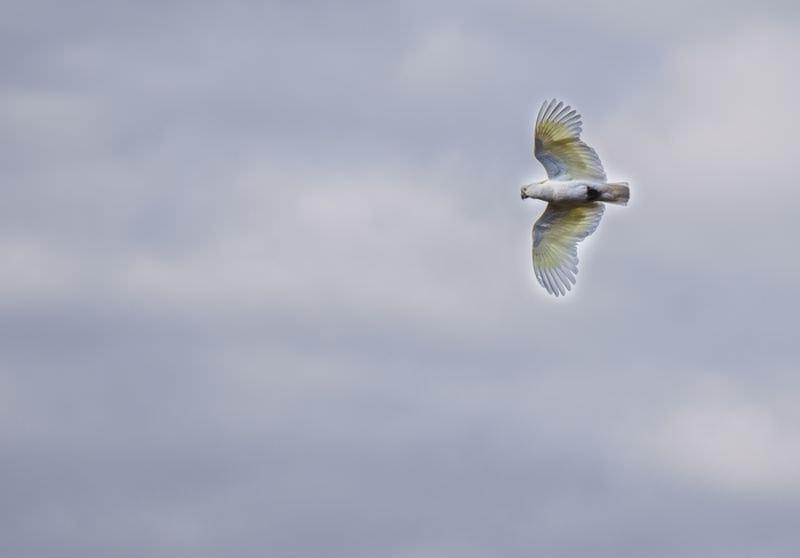 Sulfur Crested Cockatoo in Flight