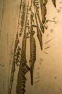 Rhenium by Polarized Light Microscopy