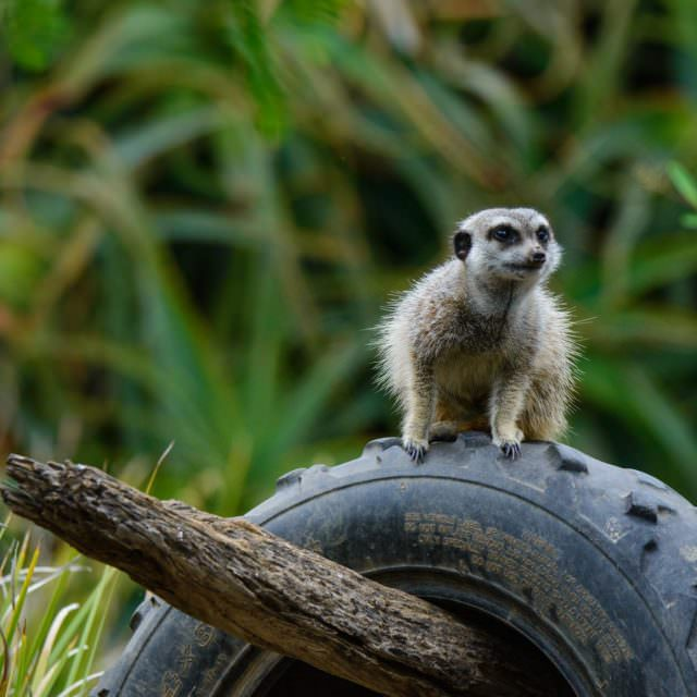 More Meerkats – Werribee Zoo