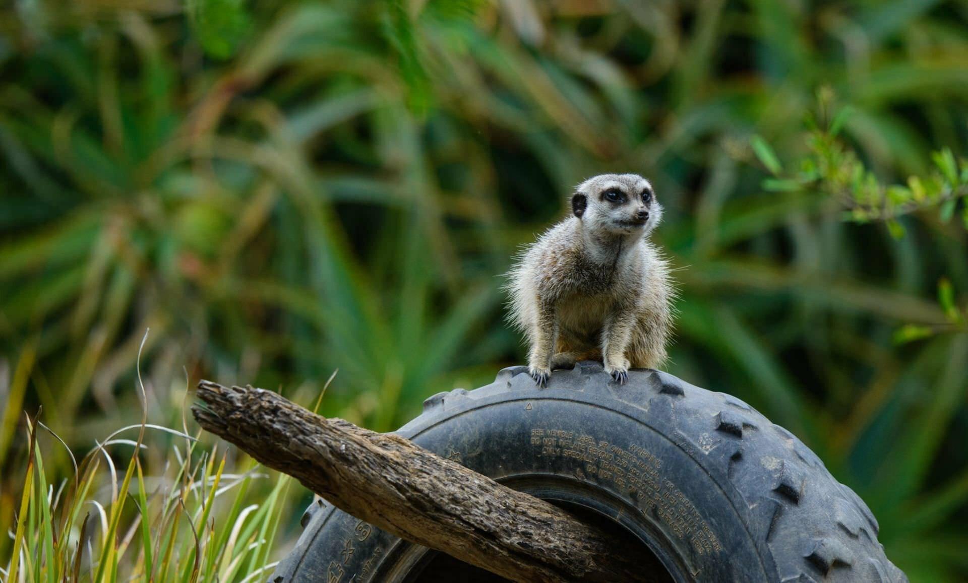 More Meerkats - Werribee Zoo