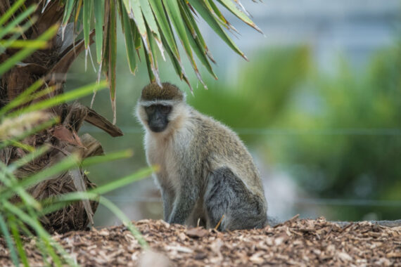 Monkey – Werribee Zoo