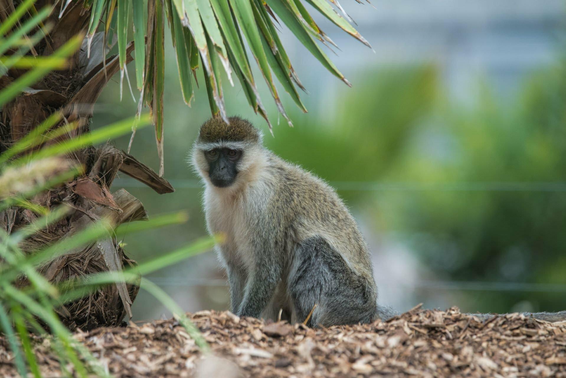 Monkey - Werribee Zoo