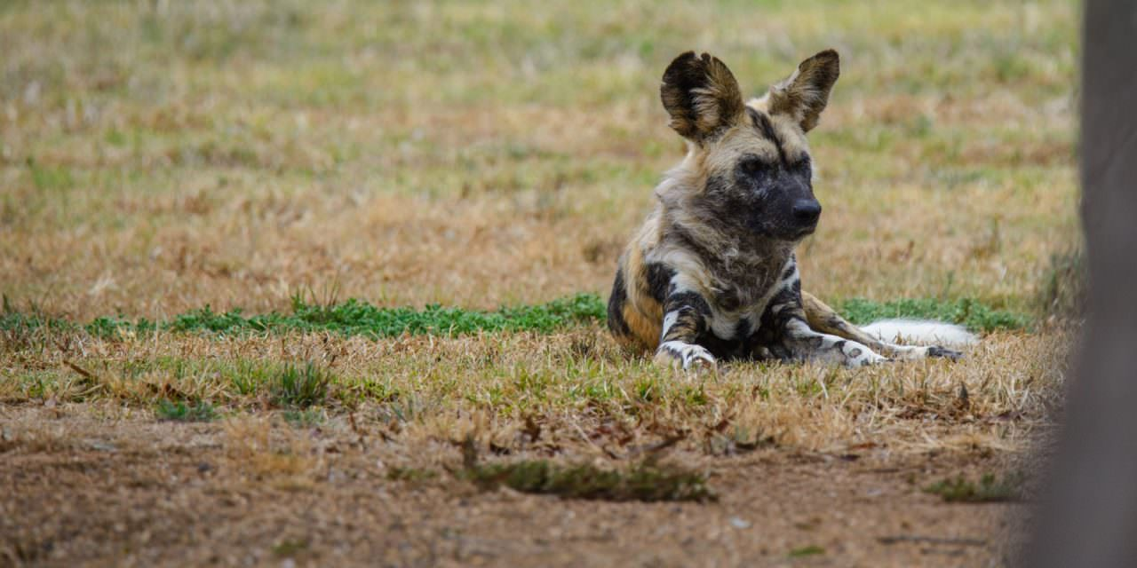 African Wild Dogs – Werribee Zoo