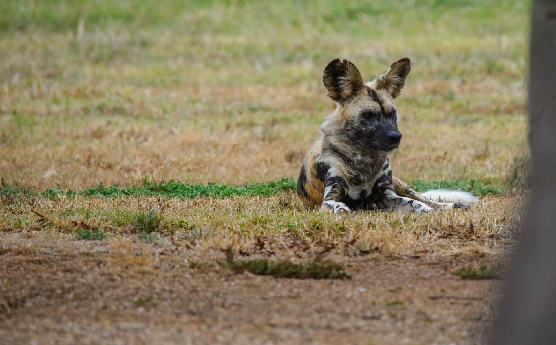 African Wild Dogs - Werribee Zoo