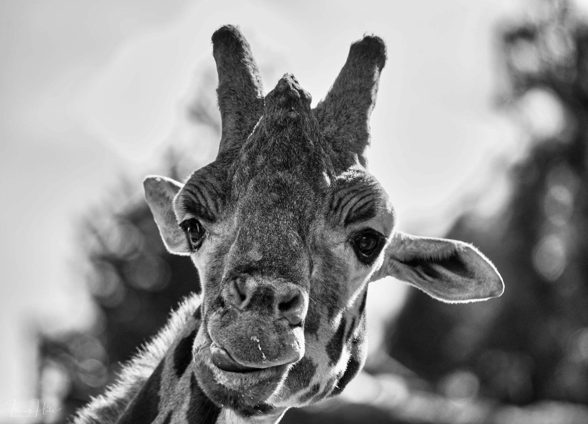 a close up of a giraffe looking at the camera
