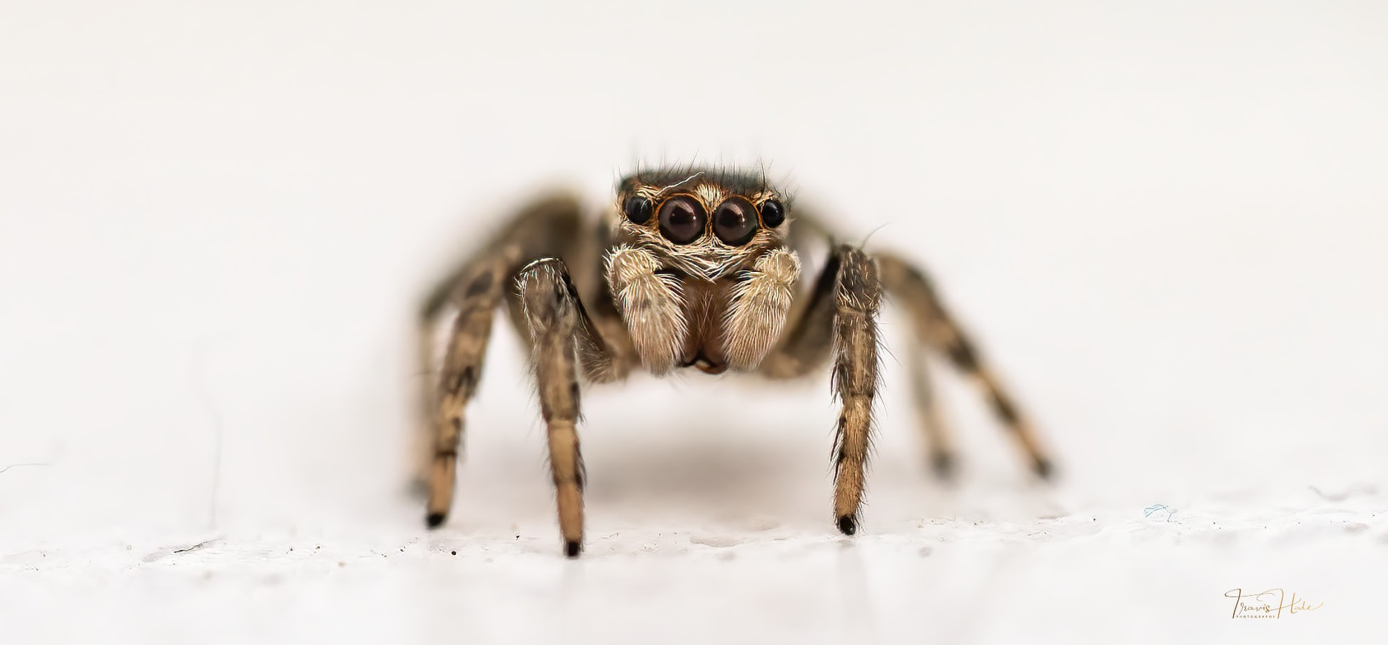 Salticidae - Jumping Spider